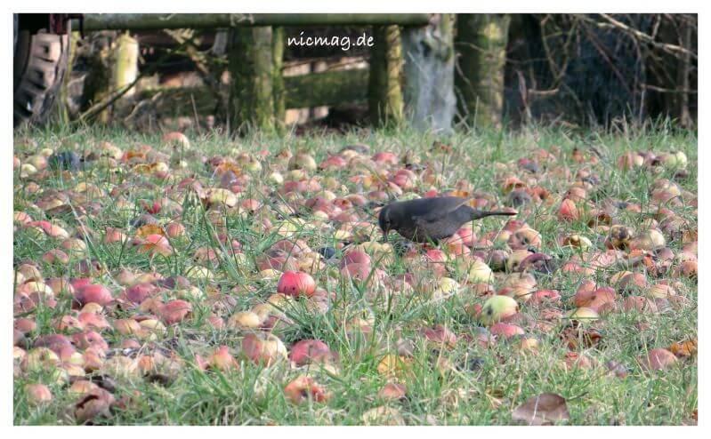 Vogel, Äpfel