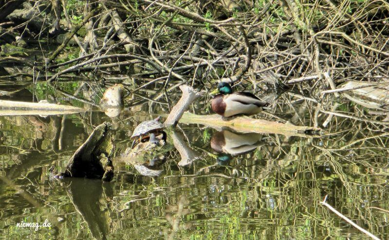 Europäische Sumpfschildkröte an der Elbe?