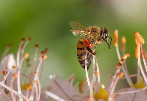 Honigbiene mit freundlichem Dank an pixabay.com (Quelle)