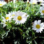 Margeriten Blume Frühling