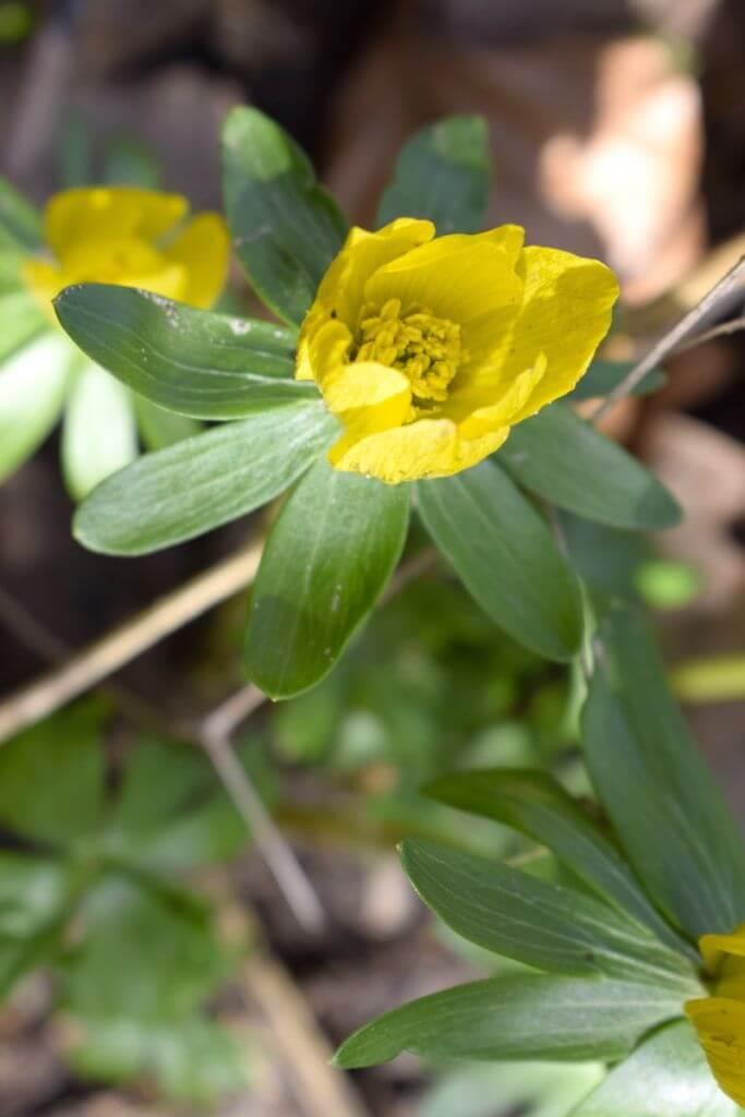 Winterling Blume Frühling