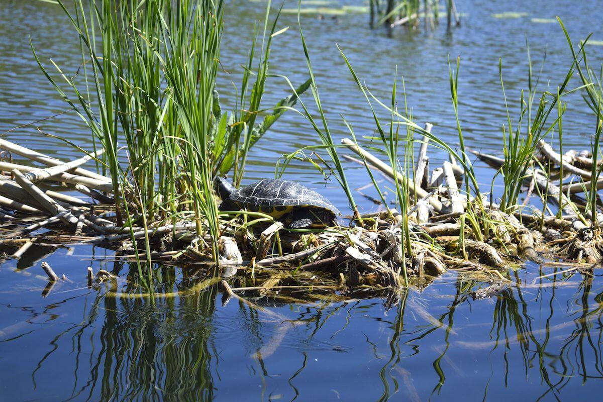 Entspannte Schildkröte